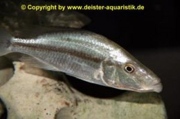 Dimidiochromis compressiceps Weibchen