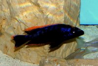 "Otopharynx sp. ""black orange dorsal"" Männchen"