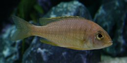 "Placidochromis sp. ""mbamba"" (blue gold) mbamba Weibchen"